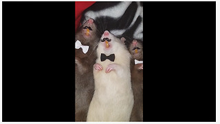 Classy rats model their bow ties and mustaches - Video