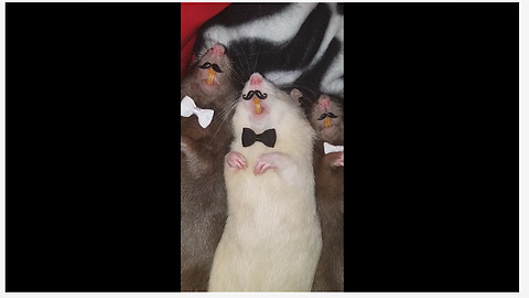 Classy rats model their bow ties and mustaches