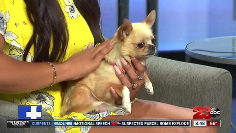 Pet of the Week: 5-year-old chihuahua Bubbles