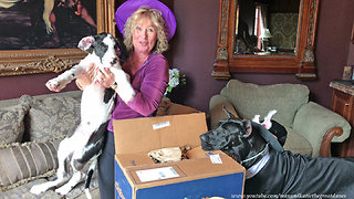 Halloween Great Danes and Cats Enjoy Opening a Chewy Gift Box  - Video