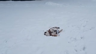 Bulldog Getting Nowhere in the Snow Is Suitable Metaphor for Life - Video