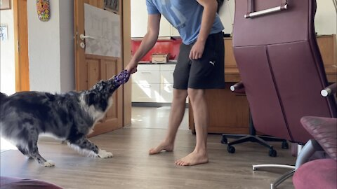 Australian Shepherd knows that the kitchen is a no-go zone