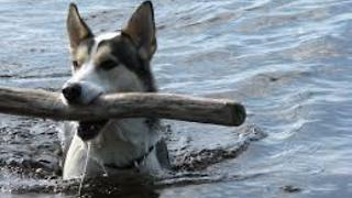 The dog jumped into the river for what to do?? - Video