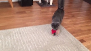 Cat knows how to fetch better than most dogs