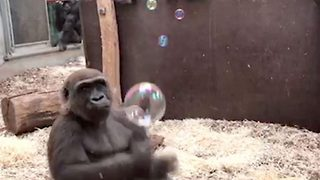 Forever blowing bubbles! Gorilla left entertained by soap bubbles - Video