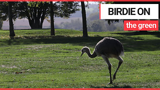 Golfers shock after escaped rhea runs amok on course