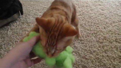 Quirky Cat Enjoys Fetching Like a Dog