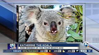 Palm Beach Zoo welcomes koala named Katherine from Los Angeles - Video