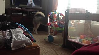 Howling husky sends baby into giggle fit