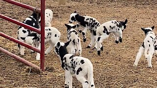 Herd of excited baby goats adorably hopping around