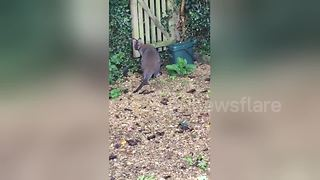 Wallaby on the loose in English countryside - Video