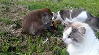Punk Monkey Steals Her Brother's Beef Jerky - Video