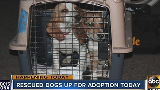 Puppies rescued from a puppy mill will be up for adoption Monday in Phoenix - Video