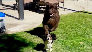 Newfie vs. Cavalier standoff results in adorable comedy