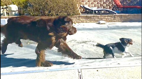 Cavalier uses pool cover to escape from Newfoundland dog