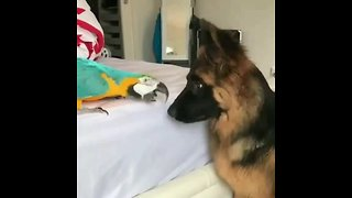 German Shepherd & parrot share incredible friendship