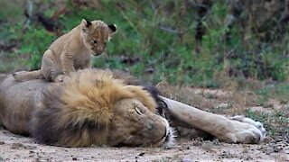 Lion cub adamantly seeks attention from his sleepy father
