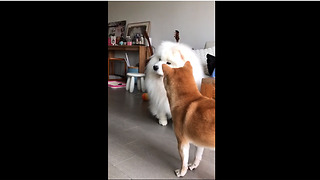 Shiba Inu Is So Baffled When Samoyed Howls Along To Music