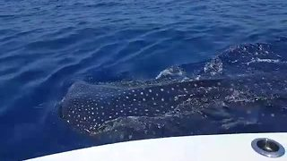 Viewer video: Whale sharks swimming off Boca Grande