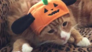 Cat is not happy with his Halloween hat