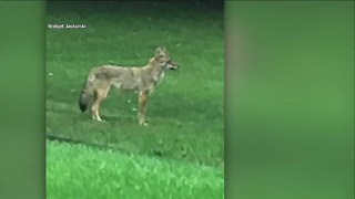 Wildlife experts warn of coyotes prowling neighborhoods - Video