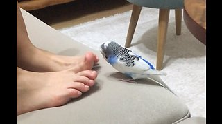 Excited budgie flaps wings when owner shakes her feet