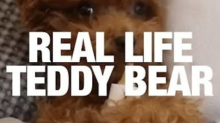 This Dog Looks Like A Real Life Teddy Bear - Video