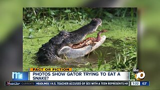 Pictures show gator eating a snake?
