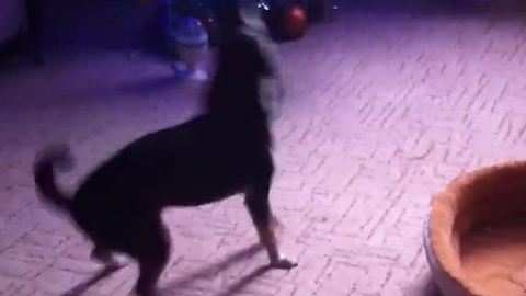 Dog literally sings and dances to alarm clock tune