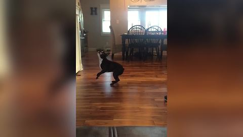 A Boston Terrier Dog Jumps To Catch A Balloon