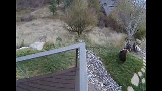 Bear-y Cute: Security Camera Captures Two Bears Playing in Front Yard - Video