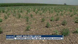 Colorado wants to expand hemp industry while protecting farmers