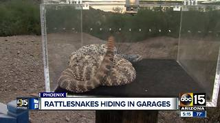 Snake wranglers issue warning for Valley homeowners for snakes hiding in garages