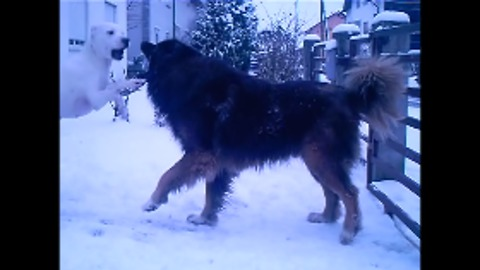 Beautiful dogs play in the snow