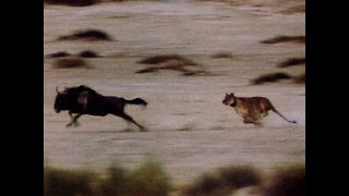 Lions Chase Wildebeest - Video