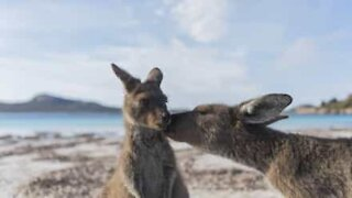 Kangaroo and her little joey share moment of tenderness