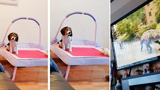 Cute dog watches cartoon on a trampoline - Video