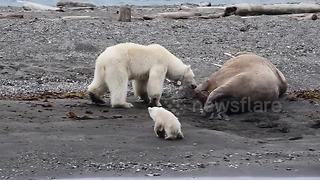 Polar bear with cub flees after waking up sleeping walrus - Video