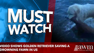 Video shows golden retriever saving a drowning fawn in US - Video