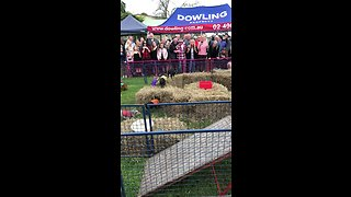 Piglets run in total confusion during a race