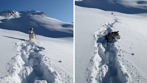 Husky living the dream atop snow covered Swiss Alps
