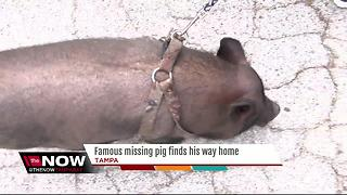 Allen, the missing pig, returns home after he got loose during break-in - Video