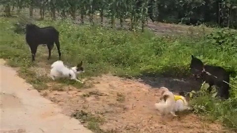 Dogs meet goats for the first time, hilarity ensues