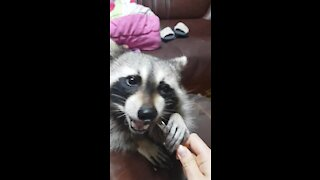 Pet raccoon being trained to eat pineapples with a fork