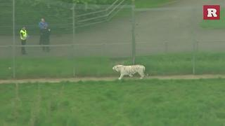 Tiger kills UK zookeeper in enclosure | Rare Animals - Video