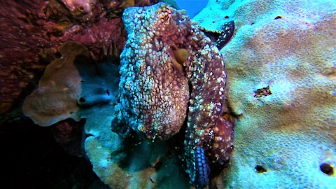 Octopus emerges from his lair in front of thrilled scuba diver
