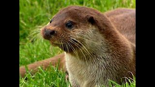 Otters Return To The English Countryside - Video