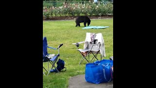 Bear casually helps himself to park visitors' picnic food