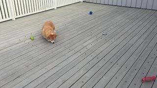 Rupert the Corgi eats breakfast Pac-Man style! - Video