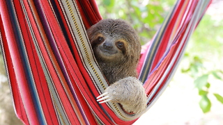 Hanging Out With Costa Rica's Orphaned Sloths - Video